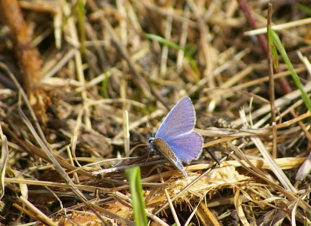 Polyommatus icarus ROTTEMBURG, 1775, mâle. Les Hautes-Lisières (Rouvres, 28), 22 septembre 2011. Photo : J.-M. Gayman