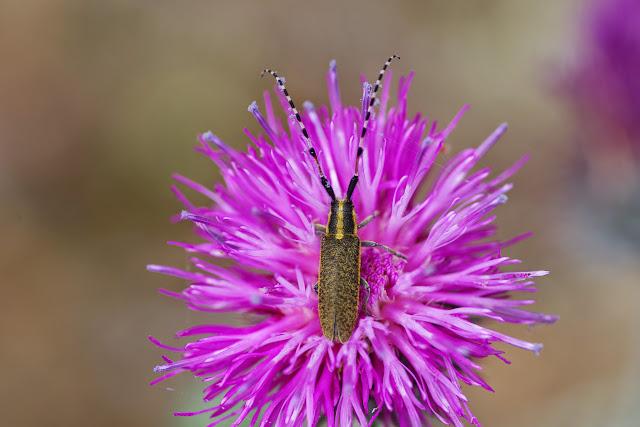 Lamiinae : Agapanthia dahli (RICHTER, 1821). Plateau de Coupon (517 m), Viens (Vaucluse), 10 mai 2014. Photo : J.-M. Gayman
