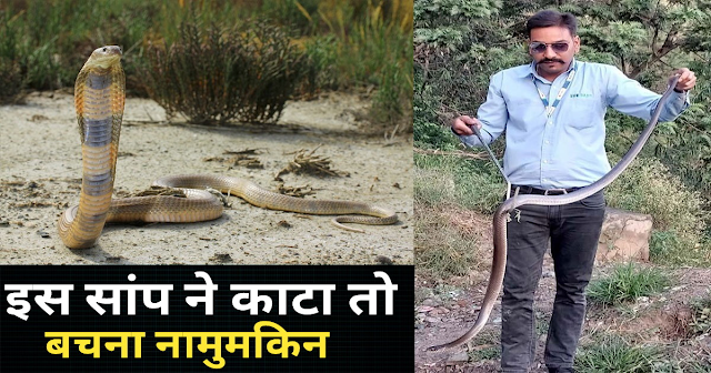 हिमाचल में मिला बहुत जहरीला सेंट्रल एशिया कोबरा: अभी तक नहीं निकला है जहर का तोड़, जानें ब्यौरा