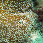 Porcellain Anemone Crab