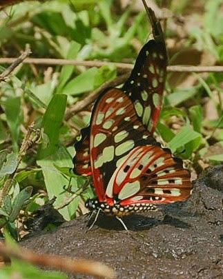 Graphium cyrnus (BOISDUVAL, 1836), endémique. Parc de Mantadia (Madagascar), 29 décembre 2013. Photo : T. Laugier