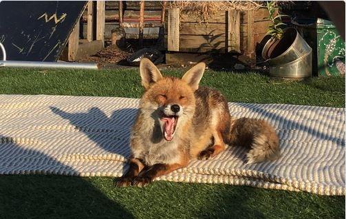 [fox%5B3%5D]