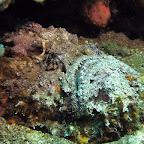 Stonefish (Dauin, Negros)