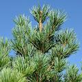 Penjelasan ringkas Ciri-ciri Pohon Pinus