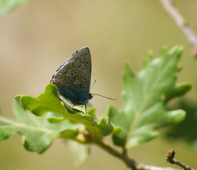 Polyommatus (Lysandra) bellargus (Rottemburg, 1775), mâle. Brunet (Alpes-de-Haute-Provence), 12 juin 2008. Photo : J.-M. Gayman