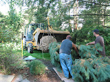 Large Pines in White Plains