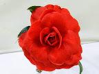 暗赤色 弁脈あり 千重〜バラ咲き 中〜大輪