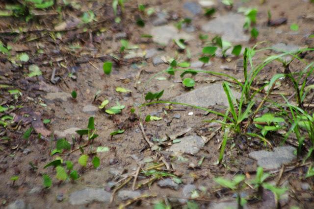 Fourmis découpeuses de feuilles. Paraíso (Canal Zone, Panamá), 1er novembre 2014. Photo : J.-M. Gayman