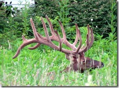 14 point elk