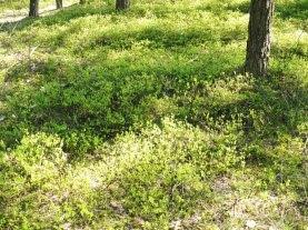 Borówka czernica w grupieVaccinium myrtillus