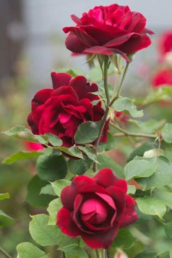 Contoh Makalah Bunga Mawar