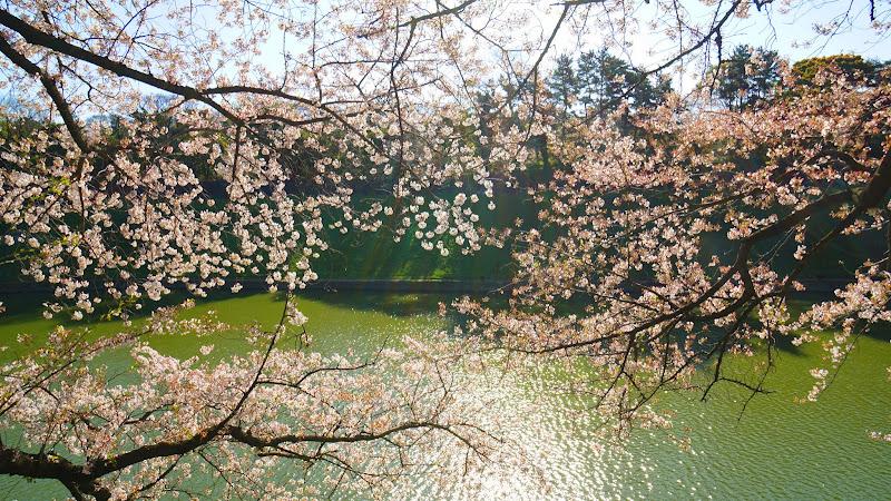 千鳥ヶ淵 桜 写真1