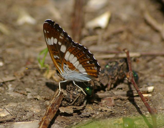 Limenitis camilla L., 1764. Les Hautes-Lisières (Rouvres, 28), 15 juin 2011. Photo : J.-M. Gayman