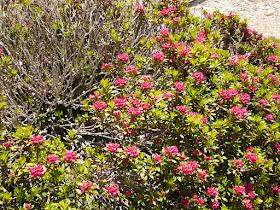 Rhododendron ferrugineum Ericacees.JPG
