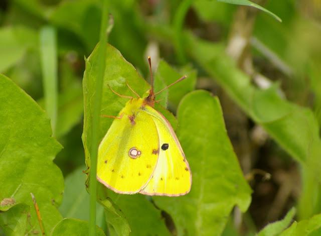 Colias alfacariensis RIBBE, 1905. Les Hautes-Lisières (Rouvres, 28), 21 juin 2011. Photo : J.-M. Gayman