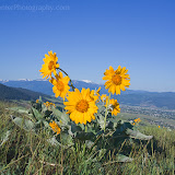 Arrow Leaf Balsamroot on Mount Sentinel. Photo by Nelson Kenter. All Rights Reserved. Prints available at www.kenterphotography.com