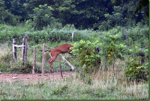 D2018-07-11 38 - Cades Cove Walk -  Deer jumps fence