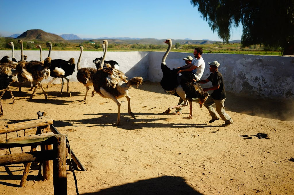ostrich ride at highgate farm