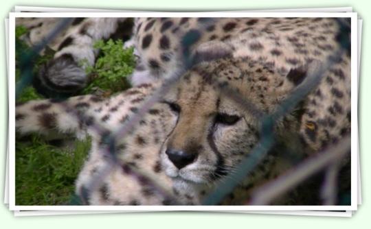 Guepard del Zoo de Barcelona