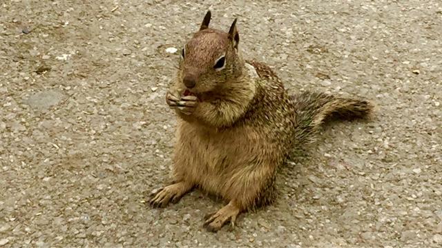 Squirrel in Big Sur eating a pistachio nut