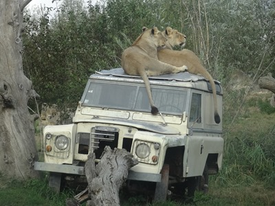 2018.08.25-079 lionnes d'Asie
