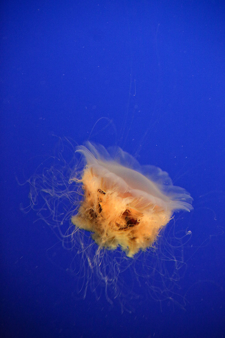 Lions Mane Jelly Fish at the Monterey Bay Aquarium California.