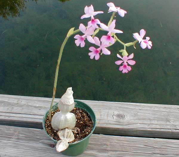 Растения из Тюмени. Краткий обзор - Страница 9 Calanthe_rosea