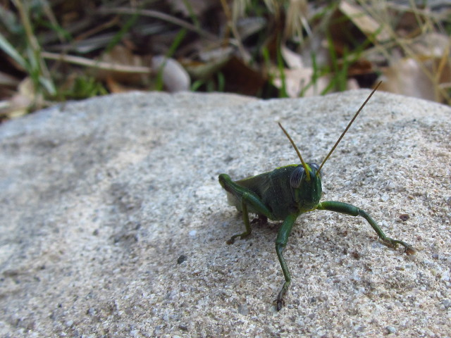 grasshoppers on granite
