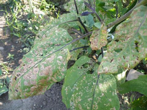 虫に食われたナスの葉っぱ