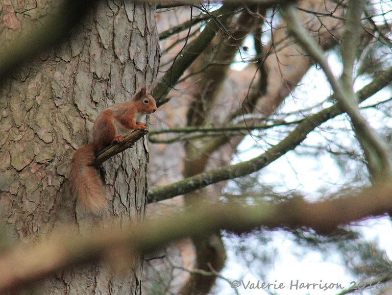 [15-Red-Squirrel%5B2%5D]