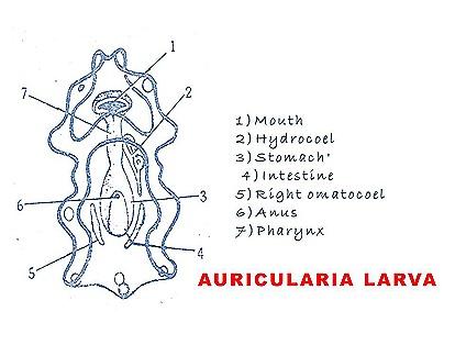 auricularia larva