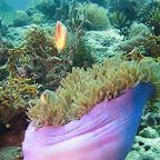 Anemonefish (Cabilao)