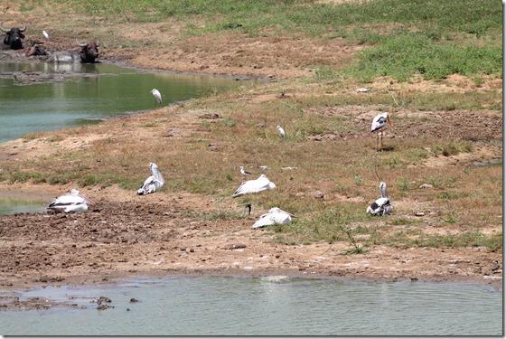 Шрі-Ланка, птахи