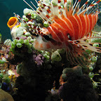 Lionfish (Bangka Island)