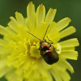 Chrysomelidae : Gastrophysa viridula (DE GEER, 1775). Les Hautes-Lisières (Rouvres, 28), 10 juin 2013. Photo : J.-M. Gayman