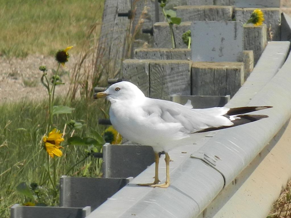 [IMG_8602-Ring-billed-Gull-Bird-38]