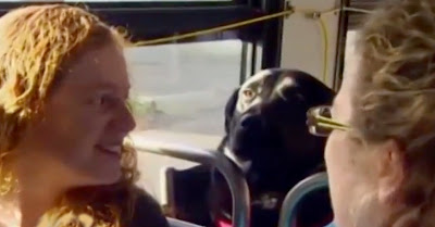 Cadela labrador apanha autocarro sozinha para o parque