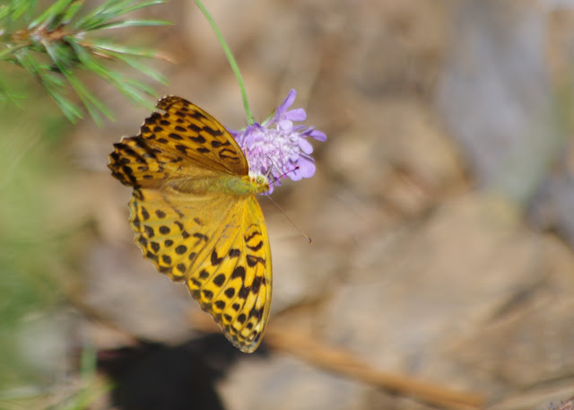 Argynnis paphia (L., 1758), femelle. Sentier des menhirs, Les Bondons (Lozère), 10 août 2013. Photo : J.-M. Gayman