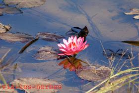 fleur de lotus rouge.jpg