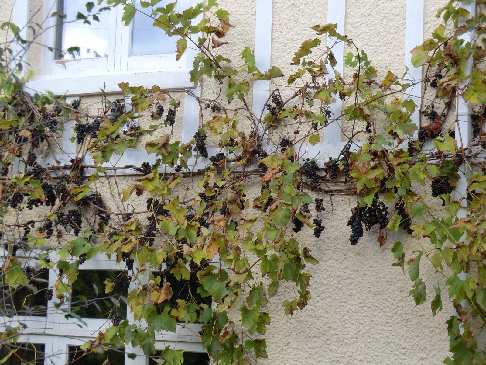 CIMG9469 Vine, Wadhurst