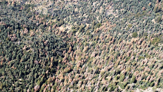Dead pine trees dominate a hillside in the Los Padres National Forest, north of Frazier Park, California. Photo: U.S. Forest Service