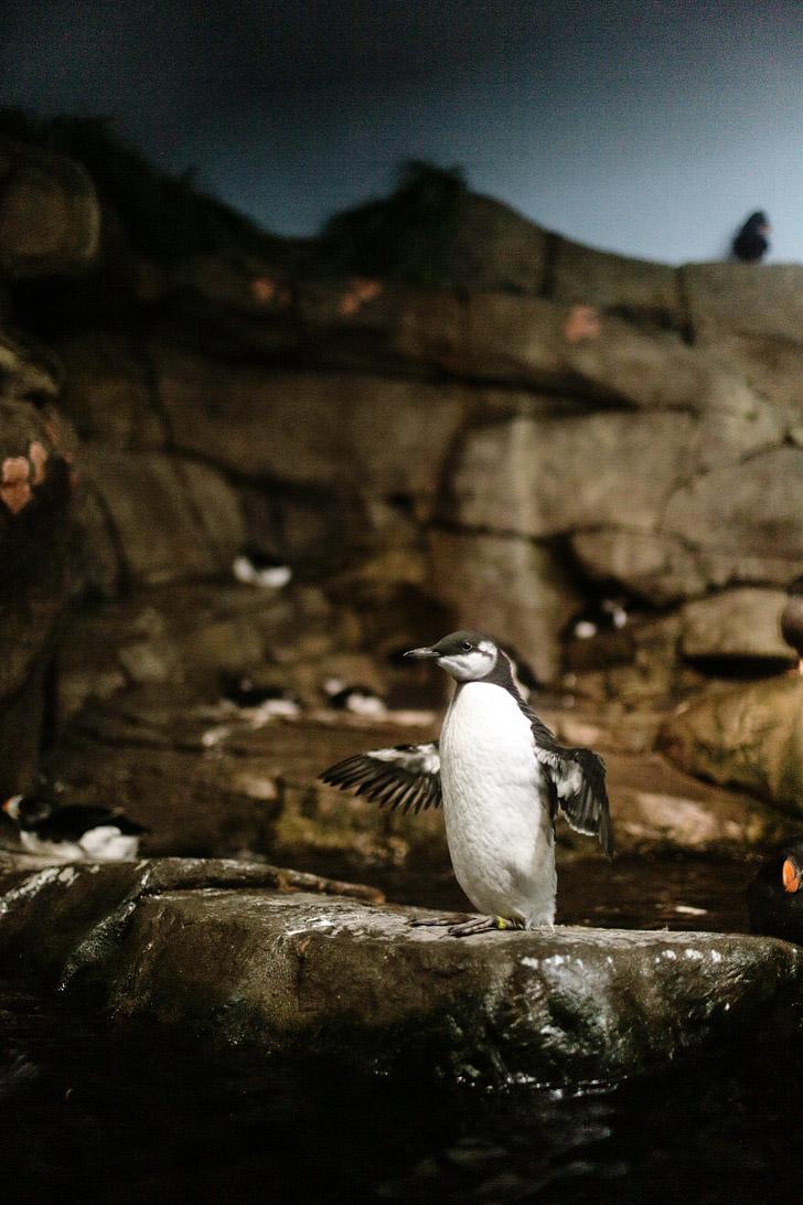 Common Murre {Montery Bay Aquarium}.