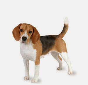 top 10 family dogs Beagle