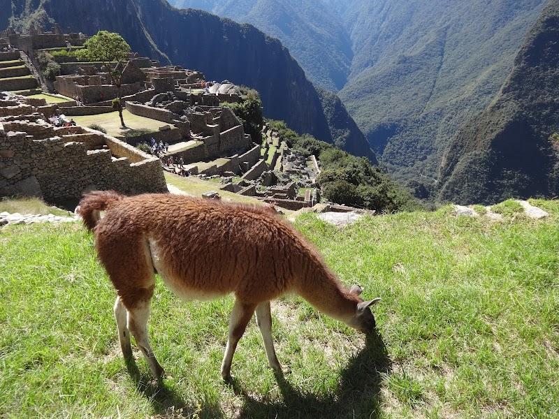 Lama na Machu Picchu w Peru.JPG