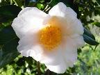 淡桃色 一重咲き 中輪