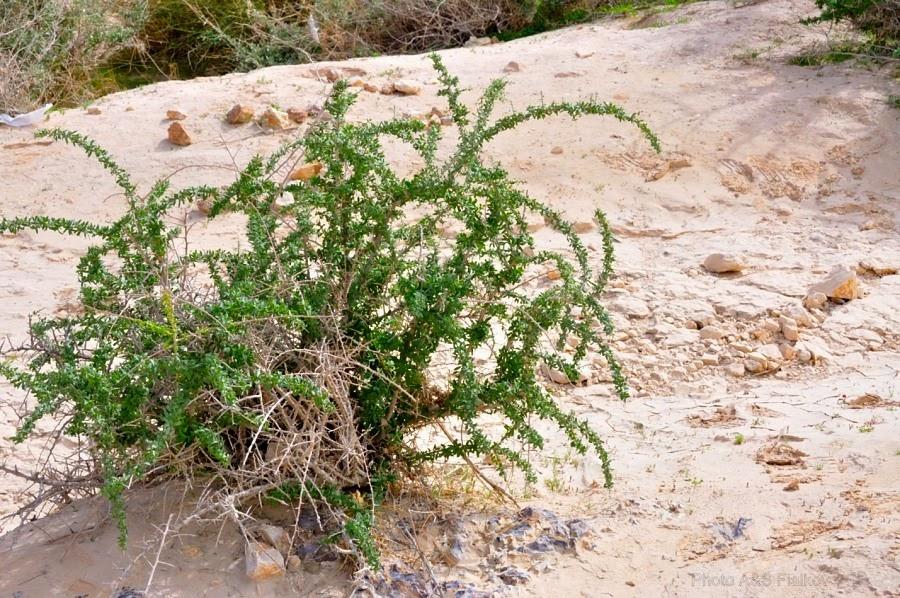 Растения пустыни. Эйн Йоркам. Экскурсия гида Светланы Фиалковой в пустыню Негев.