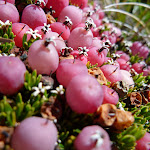Close up of some Alpine berries (266465)