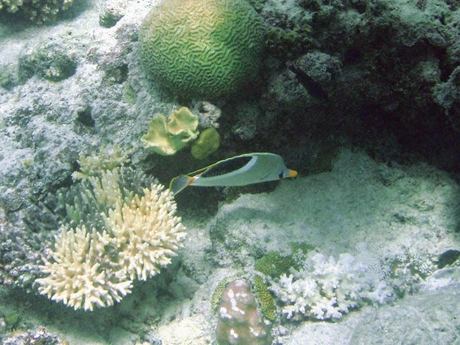 Chaetodon ephippium (Saddleback Butterflyfish), Naigani Island, Fiji.