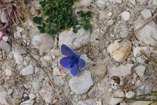 Polyommatus icarus (Rottemburg, 1775), ♂. Les Hautes-Courennes (546 m), Saint-Martin-de-Castillon (Vaucluse), 7 mai 2014. Photo : J.-M. Gayman