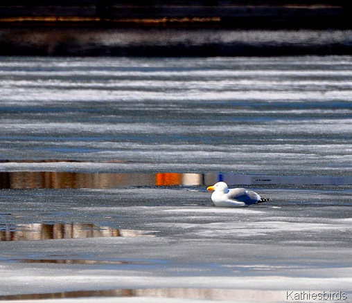 20. gull on ice-kab
